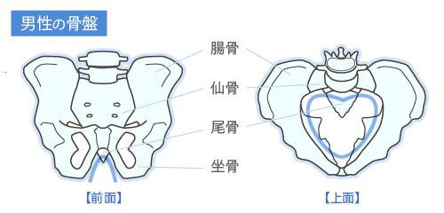 男性の骨盤